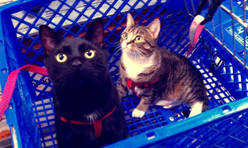 Mandi Steffey's cats Kevin and Cobain. Photo courtesy of Mandi Steffey